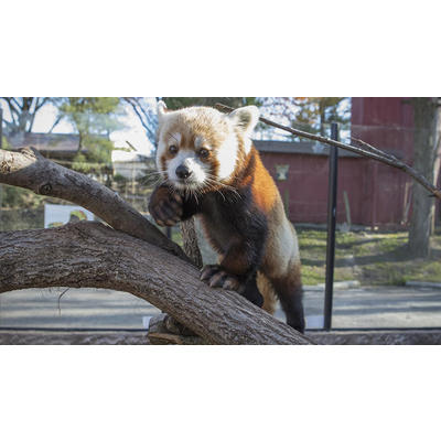 Image elmwood park zoo shredder red panda