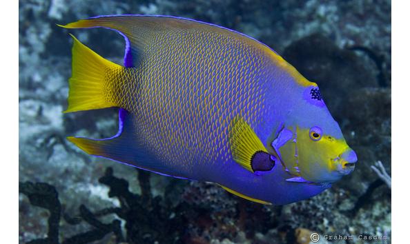 Big image angelfish queen2 cozumel sept2011 w joe3lo